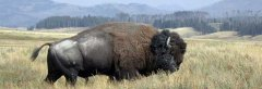 bull-buffalo-pelican-valley-770.jpg